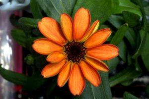 A fost cultivata prima floare de la bordul Statiei Spatiale Internationale