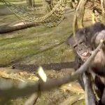 Niste cimpanezi dau jos o drona in timpul zborului