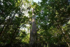 Un copac vechi de 2000 de ani din Florida va fi clonat