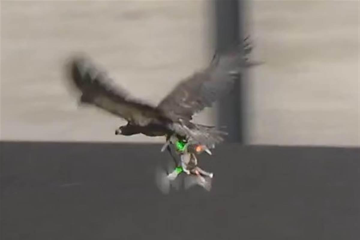VIDEO: Politia olandeza incepe sa foloseasca vulturi pentru a dobora dronele