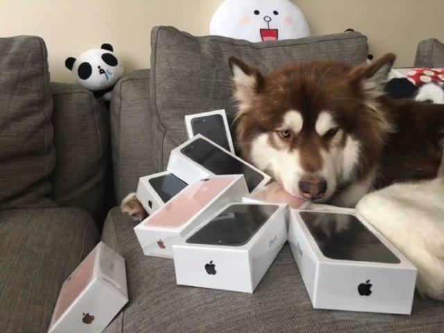 Proprietarul acestui caine i-a cumparat opt smartphone-uri iPhone 7 nou-noute