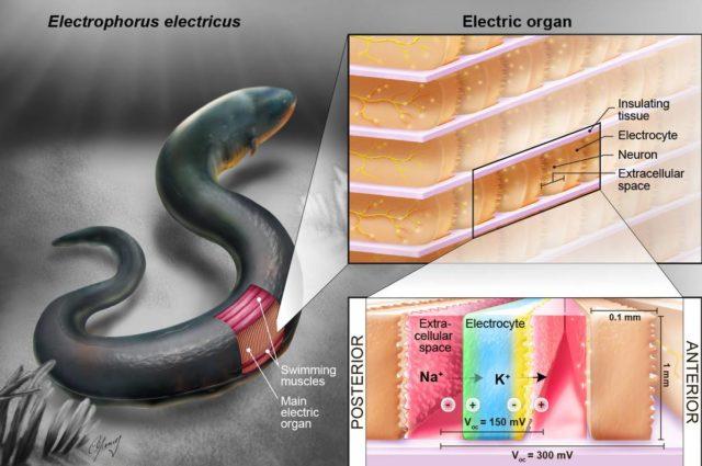 Anghilele electrice ar fi cheia implanturilor care se alimenteaza singure