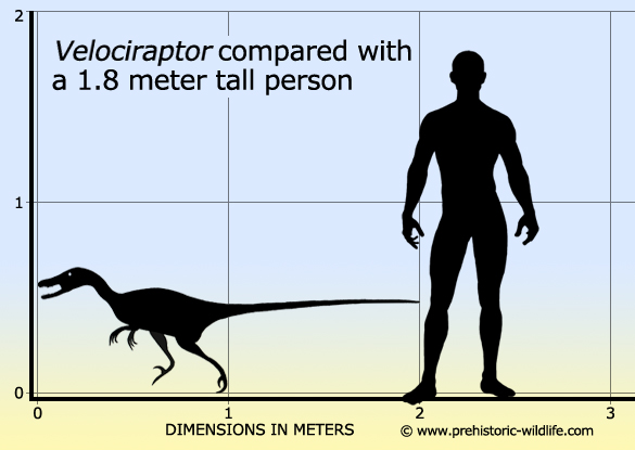 Velociraptorii au o inaltime similara cu cea a oamenilor